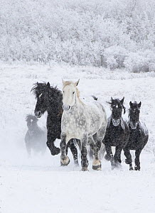 Percheron horse, group running uphill through snow, one dappled grey leading black horses, snow covered forest in background. Alberta, Canada. February.  -  Carol Walker