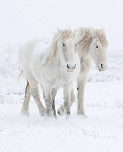 Percheron horses, two walking through snow. Alberta, Canada. February.  -  Carol Walker