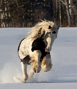 Gypsy vanner stallion galloping through snow. Alberta, Canada. February.  -  Carol Walker