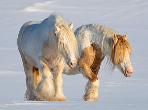 RF - Gypsy vanner horses, two stallions walking through snow. Alberta, Canada. February. (This image may be licensed either as rights managed or royalty free.)  -  Carol Walker