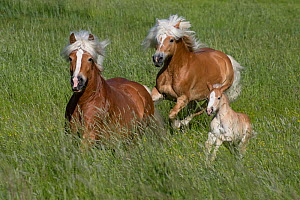 Haflinger mares and foal running through grassland. Germany. May.  -  Carol Walker