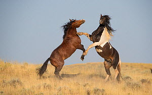 RF - Mustang horse, two stallions rearing up in aggression, in grassland. McCullough Peaks Herd Management Area, Wyoming, USA. April. (This image may be licensed either as rights managed or royalty fr...  -  Carol Walker