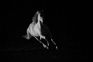 Andalusian stallion running in dark arena. Quebec, Canada.  -  Carol Walker