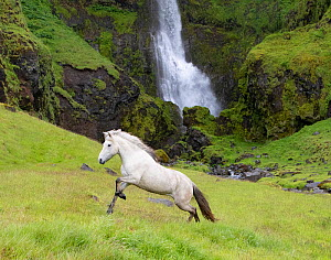 RF - Icelandic horse running through grassland, waterfall in background. Southern Iceland. June 2018. (This image may be licensed either as rights managed or royalty free.)  -  Carol Walker