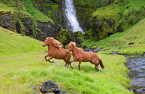 RF - Icelandic horses, two running through grassland beside stream, waterfall in background. Southern Iceland. June 2018. (This image may be licensed either as rights managed or royalty free.)  -  Carol Walker