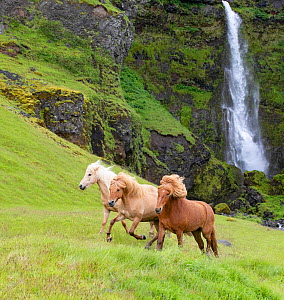 RF - Icelandic horses, three running through grassland, waterfall in background. Southern Iceland. June 2018. (This image may be licensed either as rights managed or royalty free.)  -  Carol Walker