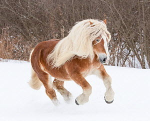 Haflinger stallion galloping through snow. Quebec, Canada. January.  -  Carol Walker