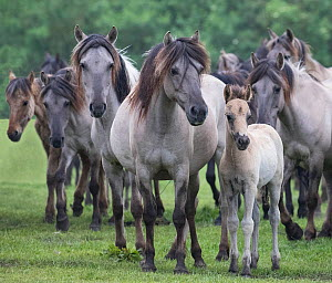 RF - Wild Dulmen pony herd including female and foal. Germany. (This image may be licensed either as rights managed or royalty free.)  -  Carol Walker