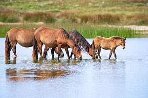 Sable Island horse, group of wild horses including foal at waterhole. Sable Island National Park, Nova Scotia, Canada. September.  -  Carol Walker