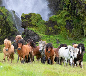 RF - Icelandic horse herd in grassland, rocky base of waterfall in background. Southern Iceland. (This image may be licensed either as rights managed or royalty free.)  -  Carol Walker