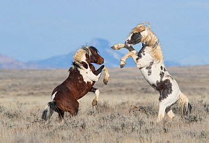 Wild Pinto horse, two stallions rearing up on hind legs in grassland. McCullough Peaks Herd Management Area, Wyoming, USA. April. (This image may be licensed either as rights managed or royalty free.)  -  Carol Walker