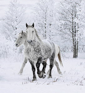 Percheron horses, two including one dappled grey walking through snow, frosty trees in background. Alberta, Canada. February.  -  Carol Walker