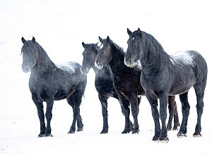 RF - Percheron horses, four standing side by side in snow, breath visible. Alberta, Canada. February. (This image may be licensed either as rights managed or royalty free.)  -  Carol Walker