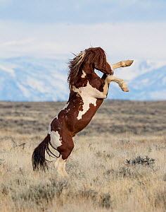 RF - Wild Pinto horse stallion rearing up on back legs in grassland, with snow covered mountains in background. McCullough Peaks Herd Management Area, Wyoming, USA. April. (This image may be licensed...  -  Carol Walker