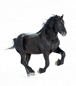 Percheron horse galloping in snow. Alberta, Canada. February.  -  Carol Walker