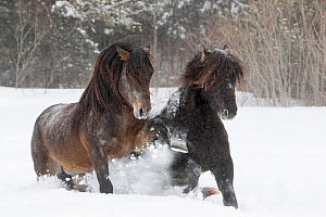Canadian horses, two running through snow. Quebec, Canada. January.  -  Carol Walker