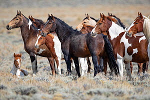 RF - Mustang herd standing in grassland, foal lying on ground. Red Desert Complex, Wyoming, USA. September. (This image may be licensed either as rights managed or royalty free.)  -  Carol Walker