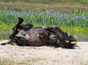 Sable Island horse, wild stallion rolling on back on beach, wildflowers in background. Sable Island National Park, Nova Scotia, Canada. July.  -  Carol Walker