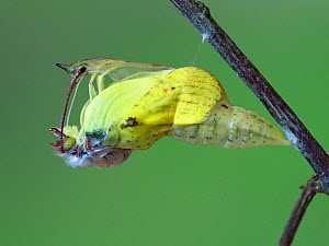 Brimstone butterfly (Goneopteryx rhamni) male emerging from pupa, Hertfordshire, England, UK, May - Captive  -  Andy Sands