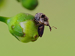 Bird dropping weevil (Cionus alauda) portrait on the flower of Common figwort, Hertfordshire, England, UK, June - Focus Stacked - Captive  -  Andy Sands