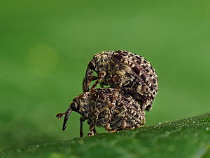 Figwort weevil (Cionus hortulanus) pre mating ritual where male is carried on back of female, Hertfordshire, England, UK, June - Focus Stacked - Captive  -  Andy Sands