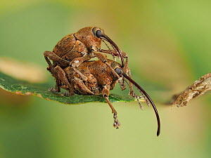 Acorn weevil (Curculio glandium) mating pair on an Oak leaf, Hertfordshire, England, UK, July - Focus Stacked - Captive  -  Andy Sands