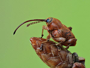 Acorn weevil (Curculio glandium) Portrait on an Oak bud, Hertfordshire, England, UK, May - Focus Stacked - Captive  -  Andy Sands