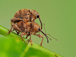 Acorn weevil (Curculio venosus) mating pair on an Oak twig, Hertfordshire, England, UK, June - Focus Stacked - Captive  -  Andy Sands