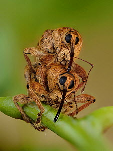 Acorn weevil (Curculio venosus) mating pair head on view on Oak twig, Hertfordshire, England, UK, June - Focus Stacked - Captive  -  Andy Sands