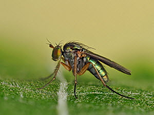 Long legged fly (Doliochopus Sp.) female at rest on leaf, Hertfordshire, England, UK, May - Focus Stacked  -  Andy Sands