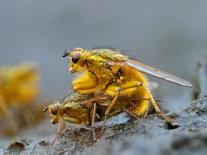 Yellow dung flies (Scathophaga stercoraria) mating pair on cow dung, Hertfordshire, England, UK, April - Focus Stacked  -  Andy Sands