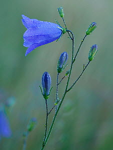 Harebell (Campanula rotundifolia) flower and buds covered in early morning dew, Hertfordshire, England, UK, July - Focus Stacked  -  Andy Sands