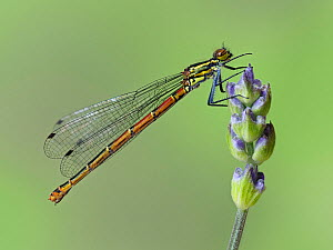 Large red damselfly (Pyrrhosoma nymphula) perched on the bud of a Lavender flower in garden, Hertfordshire, England, UK, April - Focus Stacked  -  Andy Sands