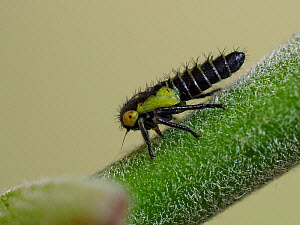 Leafhopper nymph (Idiocerus stigmaticalis) tiny nymph on a Sallow tree twig, Hertfordshire, England, UK, May - Focus Stacked  -  Andy Sands