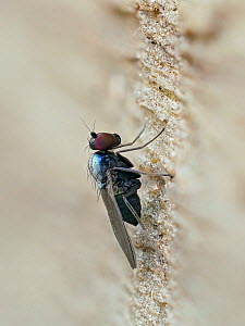 Long legged fly (Medetera muralis) tiny predatory fly that sits on trees and fences waiting for even smaller prey, Hertfordshire, England, UK, June - Focus Stacked  -  Andy Sands