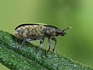 Weevil (Rhinocyllus conicus) another new arrival in the UK that is found across southern England on Spear Thistles, Hertfordshire, England, UK, June - Focus Stacked  -  Andy Sands
