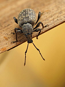 Vine weevil (Otiorhyncus sulcatus) portrait looking over the edge of piece of wood, Hertfordshire, England, UK, July - Focus Stacked  -  Andy Sands