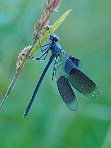 Banded demoiselle (Calopteryx splendens) male roosting at dawn covered in early morning dew, Hertfordshire, England, UK, July - Focus Stacked  -  Andy Sands