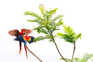 Scarlet Macaw (Ara macao) couple fighting in a tree Corcovado National Park, Osa peninsula, Costa Rica  -  David Pattyn