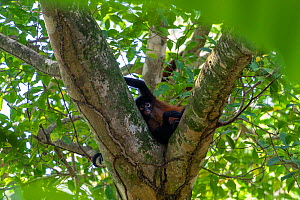 Black-handed spider monkey (Ateles geoffroyi) Corcovado National Park, Osa Peninsula, Costa Rica  -  David Pattyn