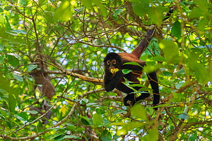 Black-handed spider monkey (Ateles geoffroyi) feeding on fruit in a tree Corcovado National Park, Osa Peninsula, Costa Rica  -  David Pattyn