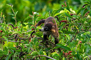 White nosed coati (Nasua nasua narica) in the top of a tree eating fruits Corcovado National Park, Osa peninsula, Costa Rica  -  David Pattyn