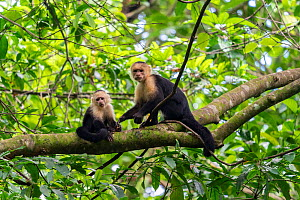 White-faced Capuchin (Cebus capucinus imitator) female with a young one in a tree Corcovado National Park, Osa peninsula, Costa Rica  -  David Pattyn