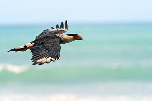 Crested Caracara (Caracara cheriway) in flight Corcovado National Park, Osa peninsula, Costa Rica  -  David Pattyn