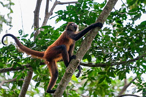 Black-handed spider monkey (Ateles geoffroyi), Osa Peninsula, Costa Rica  -  David Pattyn