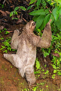 Brown-throated Three-toed Sloth (Bradypus variegatus) climbing a steep rocky wall Quepos, at the edge of Manuel Antonio National Park, Costa Rica  -  David Pattyn
