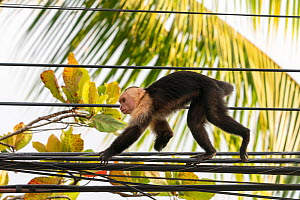 White-faced Capuchin (Cebus capucinus imitator) with one arm leg missing walking on electrical wires in Quepos at the edge of Manuel Antonio National Park, Quepos, Costa Rica  -  David Pattyn