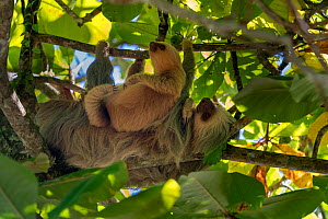 Hoffmann's Two-toed Sloth (Choloepus hoffmanni) mother and baby Manuel Antonio National Park, Quepos, Costa Rica  -  David Pattyn