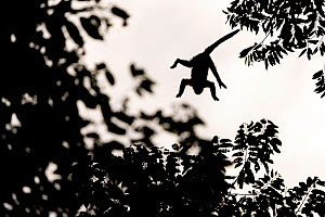 Mantled howler monkey (Alouatta palliata) silhouet jumping from tree to tree La Selva biological research station, Heredia, Costa Rica La Selva Biological research station, Heredia, Costa Rica.. July  -  David Pattyn