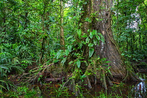 Old tree in a swamp in Lowland rainforest habitat la Selva Biological research station, Heredia, Costa Rica  -  David Pattyn